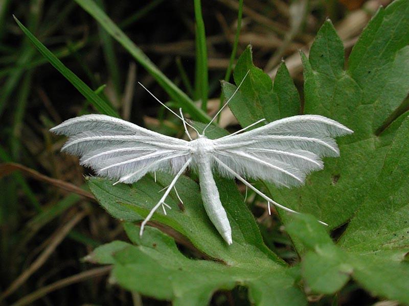 White Plume Moth Pterophorus Pentadactyla Ukmoths