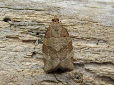 Barred Fruit-tree Tortrix Pandemis cerasana