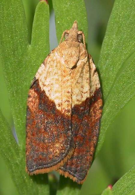 Light Brown Apple Moth Epiphyas postvittana