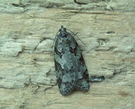 Grey Tortrix Cnephasia stephensiana