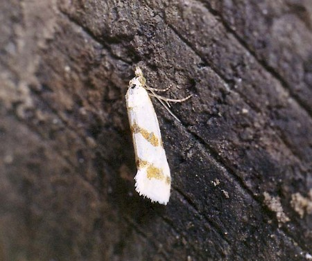 Aethes beatricella