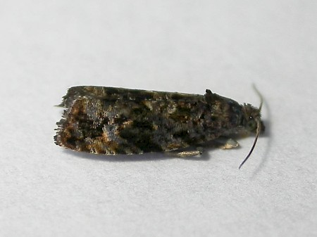 Endothenia ustulana