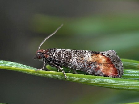 Elgin Shoot Moth Rhyacionia logaea