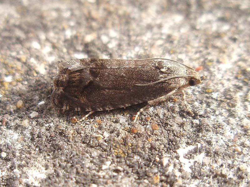 Fruit tree pests: codling moth larva