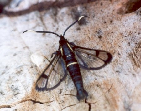 White-barred Clearwing Synanthedon spheciformis