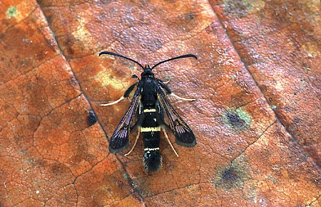 Sallow Clearwing Synanthedon flaviventris