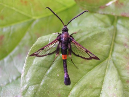 Red-belted Clearwing Synanthedon myopaeformis
