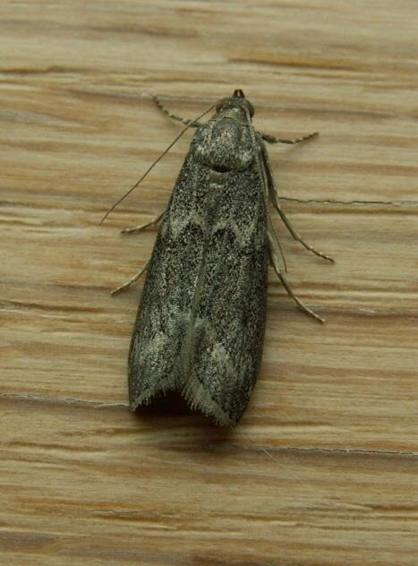 Mediterranean flour moth ephestia kuehniella ukmoths for Pantry moths