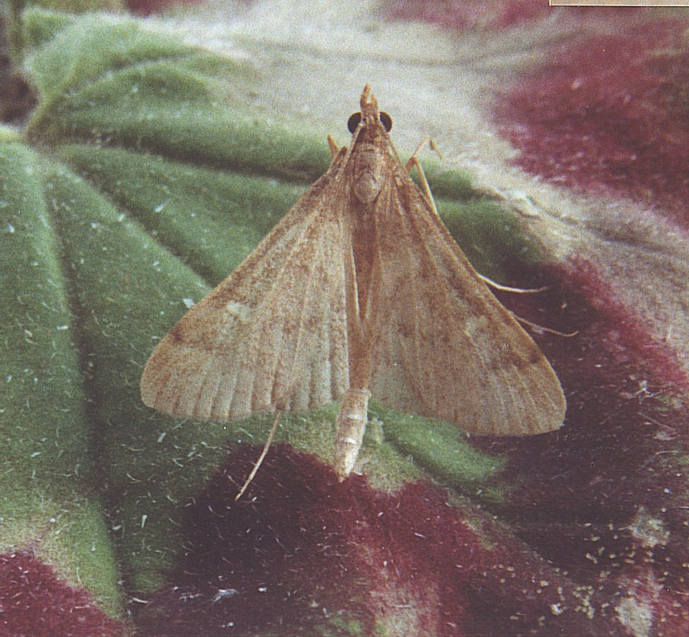 more than just a dead moth Index of the various butterflies and moths that can be found throughout the warmer months of north america  but the hairy moth is more dangerous to plants than .