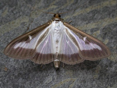 Box-tree Moth Cydalima perspectalis
