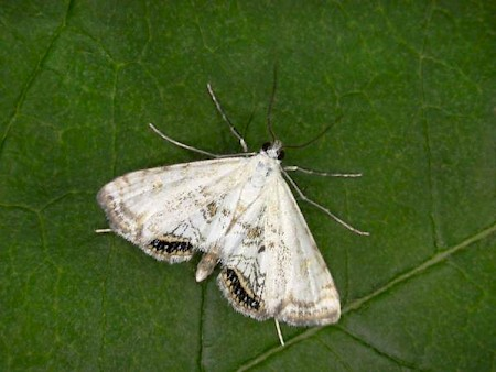 Small China-mark Cataclysta lemnata