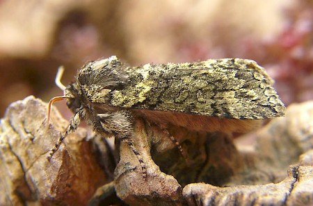 Frosted Green Polyploca ridens