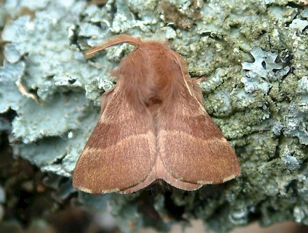 The Lackey Malacosoma neustria