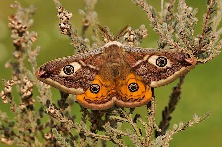 Emperor Moth Saturnia pavonia