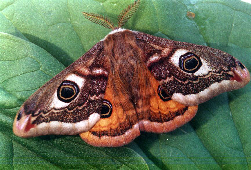 Emperor Moth Saturnia ...