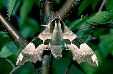 Lime Hawk-moth Mimas tiliae
