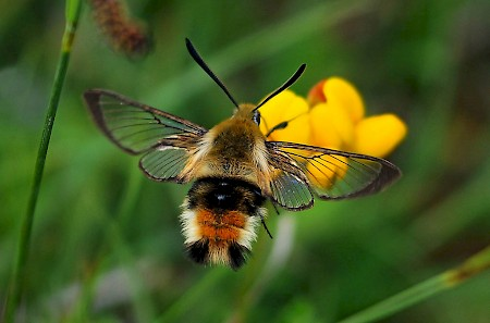 Narrow-bordered Bee Hawk-moth Hemaris tityus