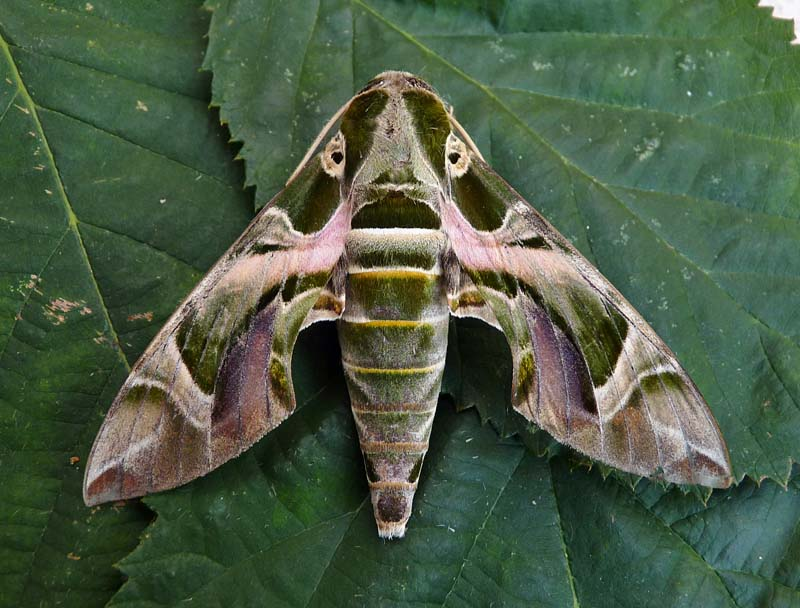 Oleander Hawk Moth Daphnis Nerii Ukmoths