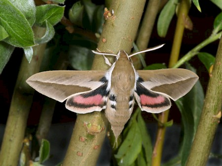 Seathorn Hawk-moth Hyles hippophaes