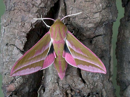 Elephant Hawk-moth Deilephila elpenor