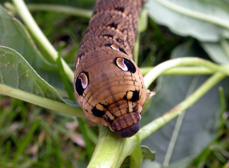 Elephant Caterpillar