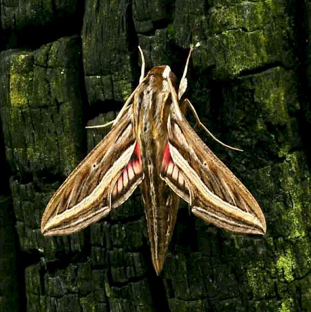 Silver-striped Hawk-moth Hippotion celerio