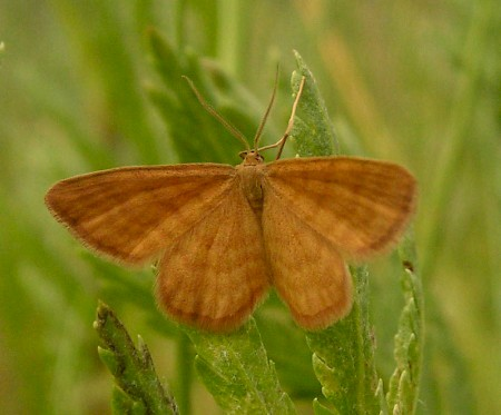 Ochraceous Wave Idaea serpentata