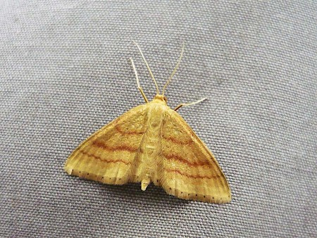 Bright Wave Idaea ochrata