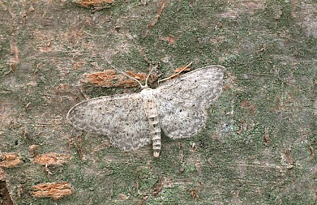 Small Dusty Wave Idaea seriata