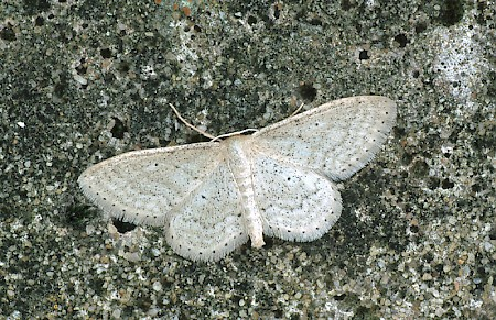 Dotted Border Wave Idaea sylvestraria
