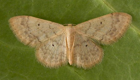 Small Fan-footed Wave Idaea biselata