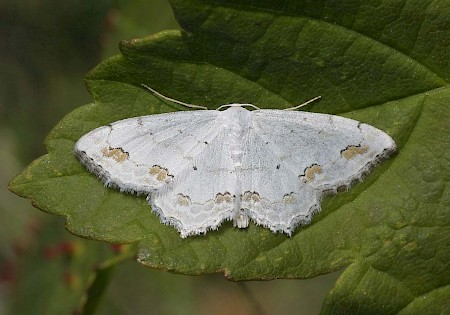 Lace Border Scopula ornata