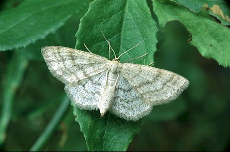 Smoky Wave Scopula ternata