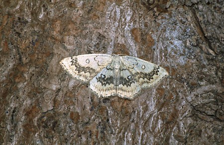 The Mocha Cyclophora annularia