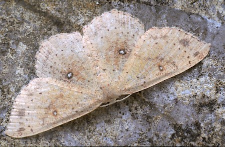 False Mocha Cyclophora porata