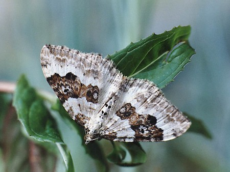 Silver-ground Carpet Xanthorhoe montanata