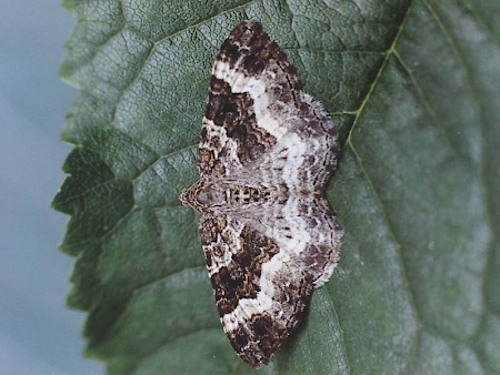 Common Carpet Epirrhoe alternata