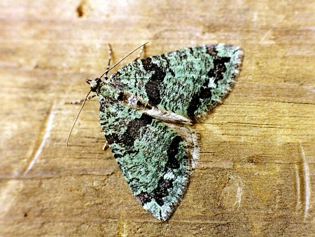 July Highflyer Hydriomena furcata
