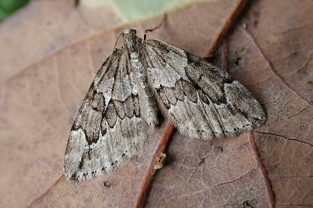 Juniper Carpet Thera juniperata