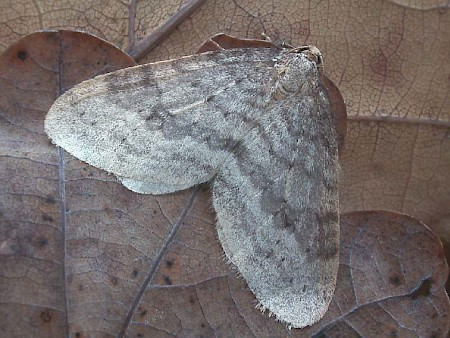 Northern Winter Moth Operophtera fagata