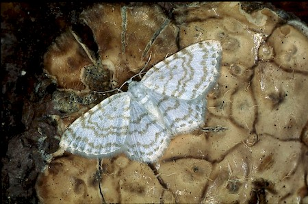 Small White Wave Asthena albulata
