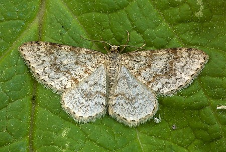 Waved Carpet Hydrelia sylvata