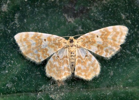 Small Yellow Wave Hydrelia flammeolaria
