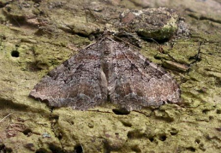 Scarce Tissue Hydria cervinalis