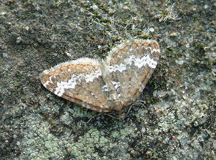 Small Rivulet Perizoma alchemillata - UKMoths