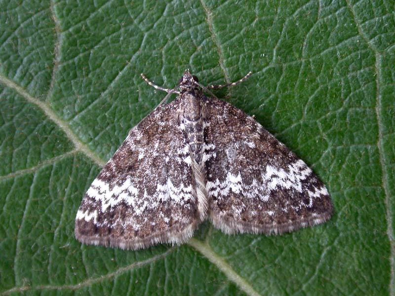 Small Rivulet Moth (perizoma Alchemillata), Genus Perizoma In The ...