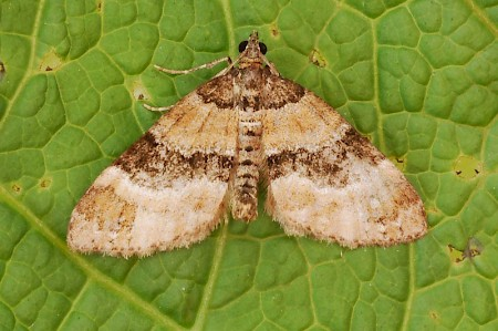 Barred Carpet Martania taeniata