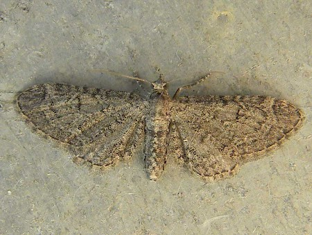 Channel Islands Pug Eupithecia ultimaria