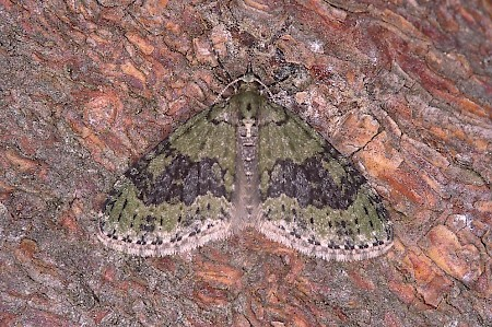 Yellow-barred Brindle Acasis viretata