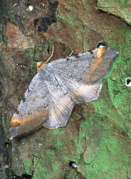 Tawny-barred Angle Macaria liturata